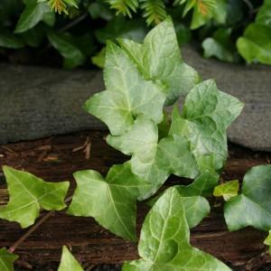 Efeu – Giftpflanze und Hilfsmittel für die Atemwege