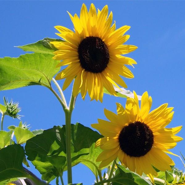 Mythos Sonnenblume: Das sollten Sie wissen