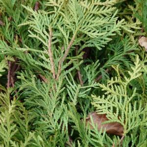 Thuja-Hecke am besten im Frühjahr pflanzen