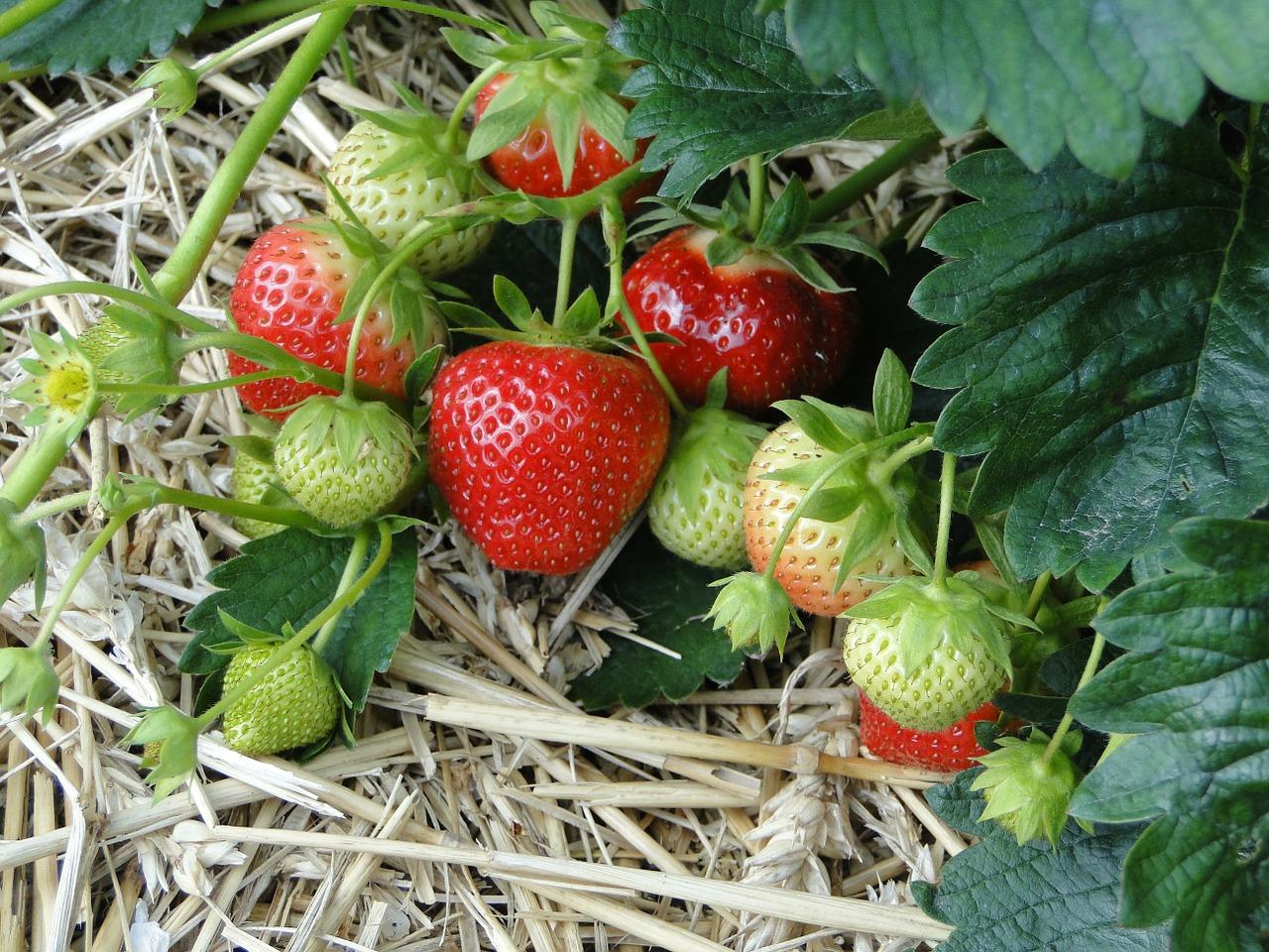 Erdbeeren am besten im Spätsommer pflanzen