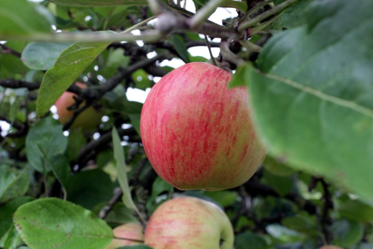 Ein Apfel pro Tag …