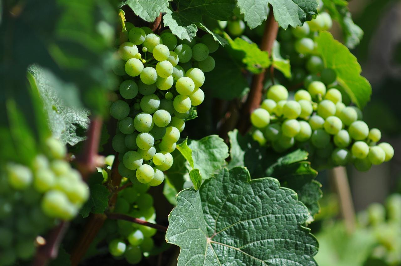 Federweißer – Frischer Weingenuss im Herbst