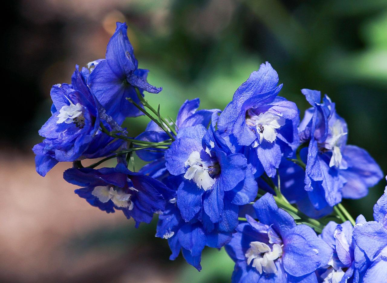 Rittersporn: Giftpflanze des Jahres 2015
