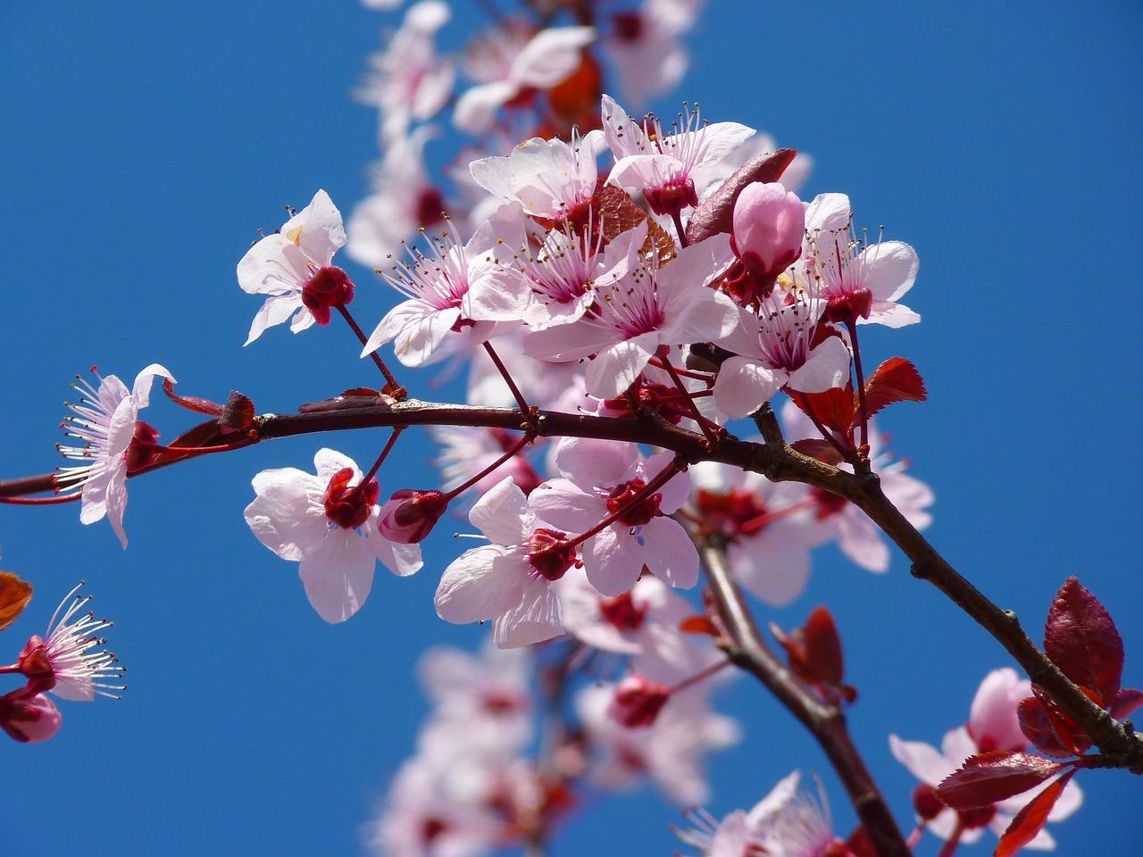 Verheißungsvolle Frühjahrsboten: Mandelblüten