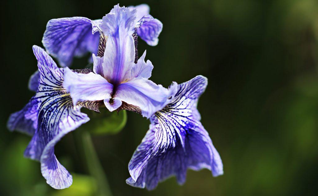 Deutsche Schwertlilie (Iris germanica)
